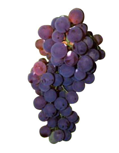 imagenes de uvas sin fondo uva de mesa bronx sin pepita caracter 237 sticas de la uva