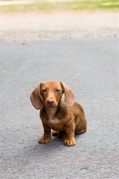 how to crate my how to a dachshund puppy tricks howsto co