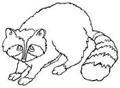 coloring pages of coon dogs raccoon coloring page