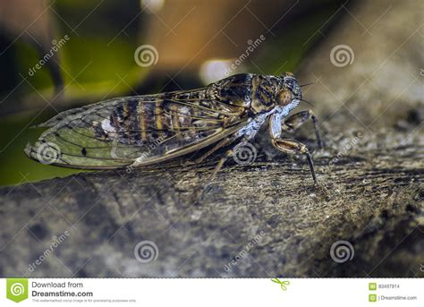 The Cicadas cicada stock photo image 83497914
