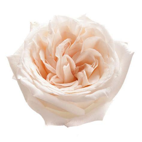 o hara garden rose