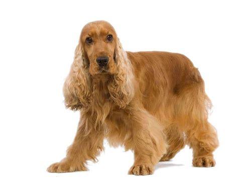 imagenes de cocker spaniel ingles conoce los perros cocker raza extraordinaria amorosa