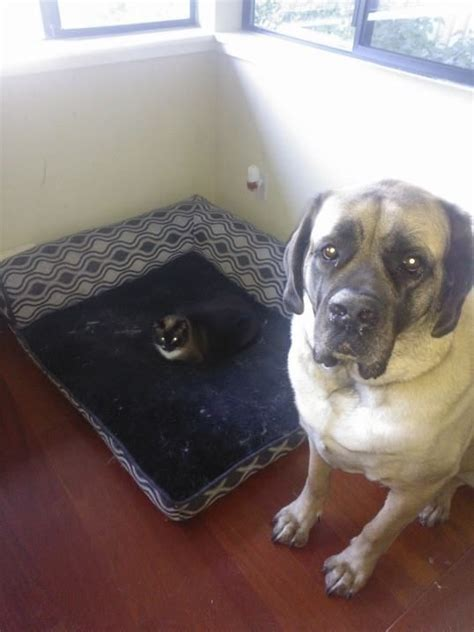 cats stealing beds these dogs catch the cats stealing their beds and their reactions say it all