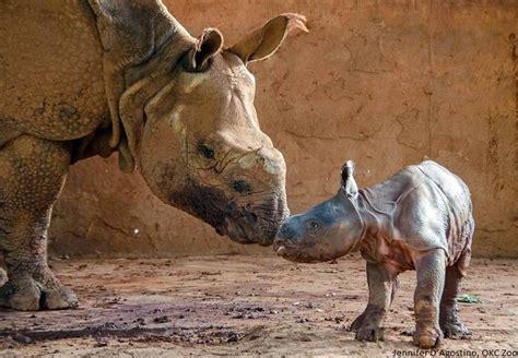 Oklahoma City Birth Records Baby Rhino Born At Oklahoma City Zoo