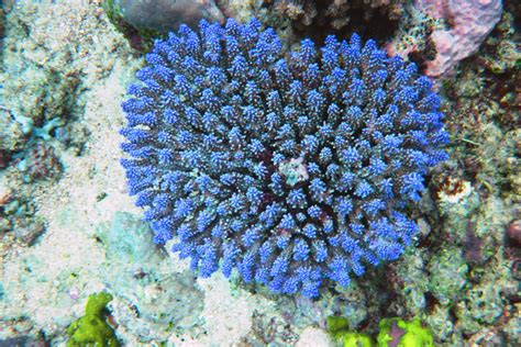 Coral Blue blue coral nature has the blues coral and blue