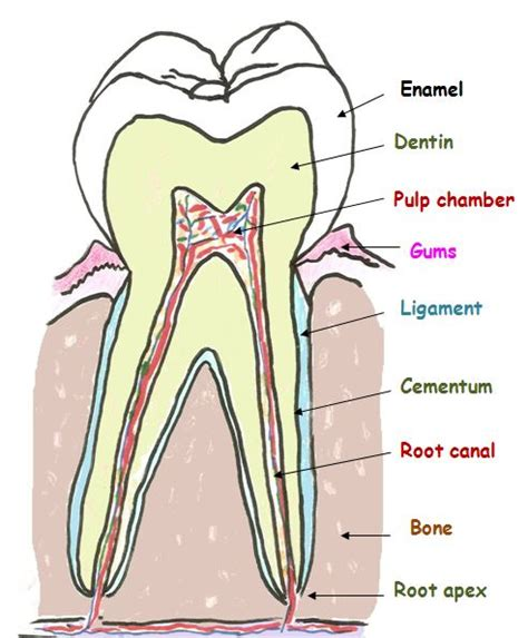 diagram of a tooth to label tooth diagram worksheet tooth get free image about