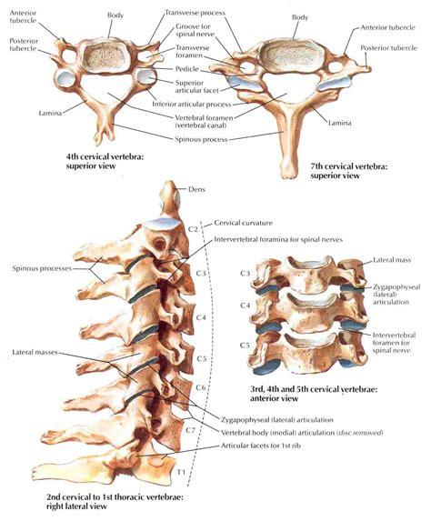 cervical spine diagram cervical plexus diagram cervical free engine image for