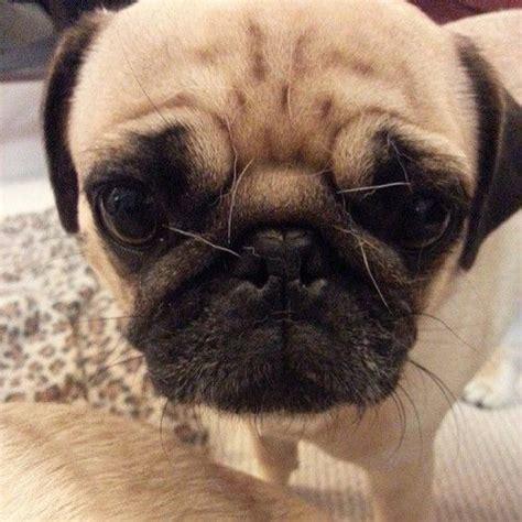 pugs shed a lot m 225 s de 1000 ideas sobre doguillos en cachorros de doguillo perros