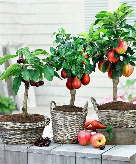 25 great ideas about fruit trees on - Miniature Fruit Trees
