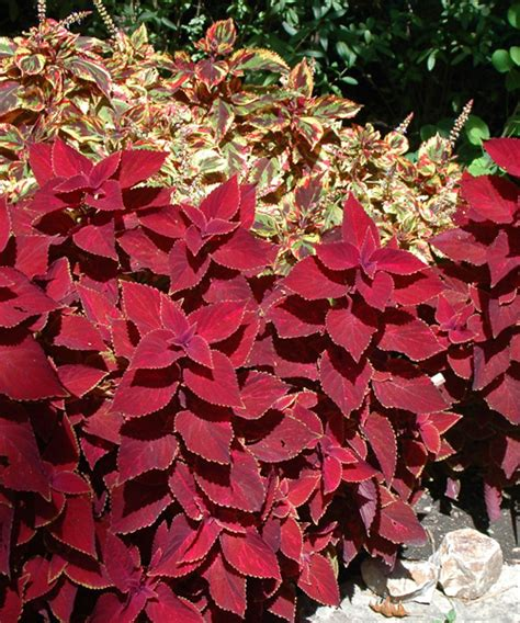 pink foliage plants pink foliage plants coleus oxblood truly amazing