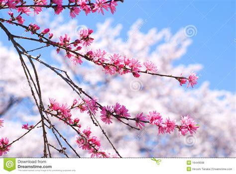 fiori sulla fiori della pesca fotografie stock libere da diritti