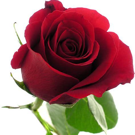 imagenes de rosas rojas frescas una rosa para ana