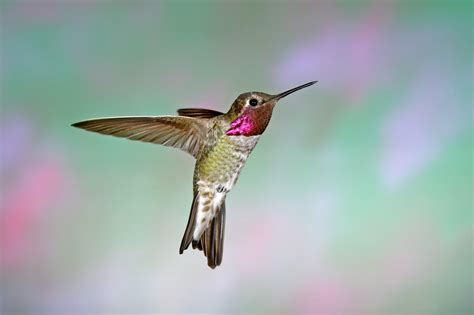 anna s hummingbird audubon field guide