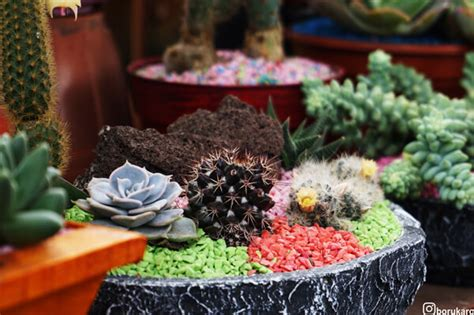 tanaman hias mini  deranch lembang borukaro story
