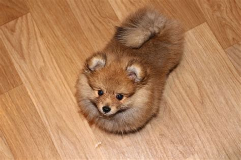 pomeranian puppies for sale lincolnshire luxury pedigree pomeranian for sale boston lincolnshire pets4homes