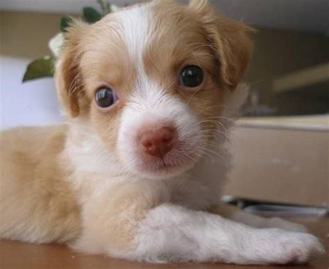 teacup pomeranian and chihuahua mix 25 best ideas about pomeranian chihuahua on baby dogs puppies
