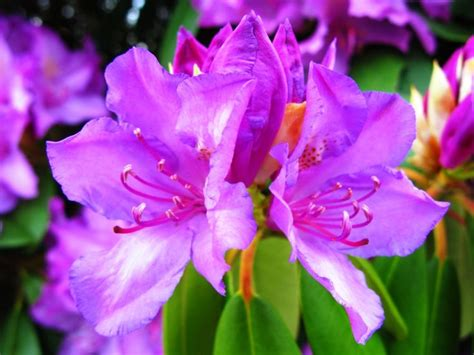 Benih Bunga Balsem Ungu 1 17 best images about beautiful flower on casablanca pink and flower