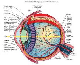 Cutaway anatomy of the human eye reproduced by permission of the