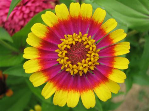 pretty plant a spoonful of sugar friday flower zinnia