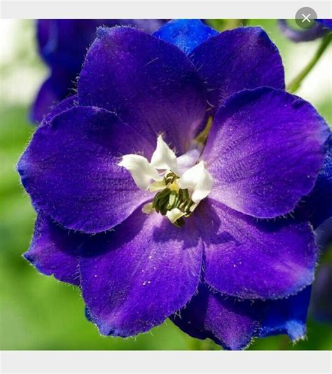 17 best ideas about larkspur flower on pinterest