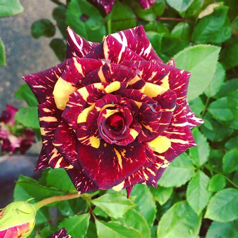 long stemmed rose hybrid tea abracadabra mm pot