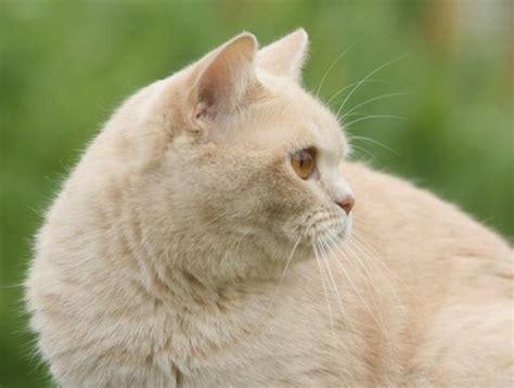 Kucing Shorthair kucing shorthair kucingkita