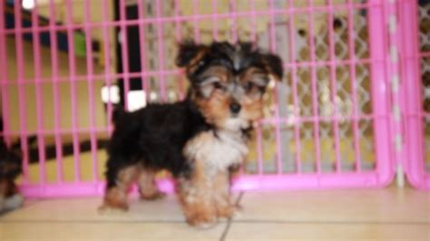 yorkie puppies for sale in columbus ga yorkie poo puppies for sale in atlanta ga at puppies breeds picture