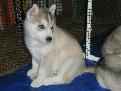 buy husky puppy how to buy a siberian husky puppy