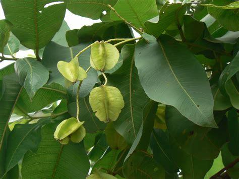 asana असन or आसन combretaceae rangoon creeper