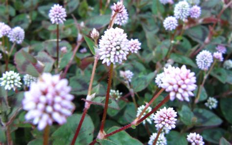 top 28 flowering ground cover plants 18 best