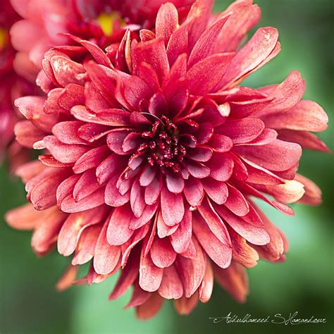 november flower flower of the month november chrysanthemum by flowers