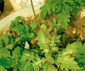 Obat Herbal Angkung daun dewa mengatasi terlambat menstruasi tanaman obat