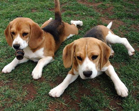 dogs 101 beagle 101 dogs wszystko o psach beagle