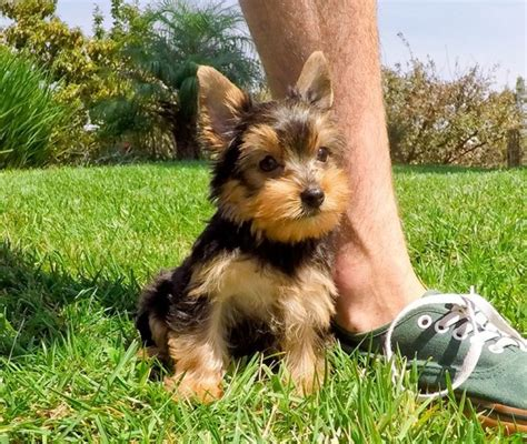 rescued yorkies for adoption yorkie puppies for adoption yorkie rescue terrier dogs breeds picture