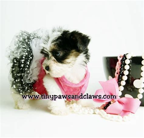 yorkies for sale in athens ga yorkie puppy 11 wks no pprs is a terrier puppy breeds