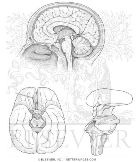 psychology brain anatomy coloring page sketch coloring page