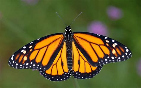 The Monarch Butterfly the of monarch butterflies greenability magazine