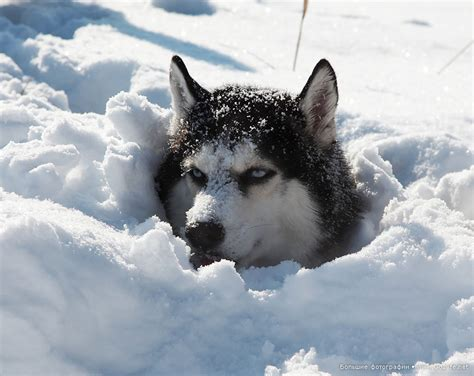 snow husky puppy husky undercover snow cover my favorites are siberian huskies