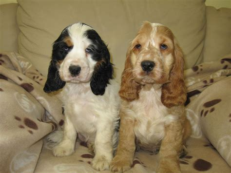 cocker spaniel puppies cocker spaniel puppies aberystwyth ceredigion pets4homes