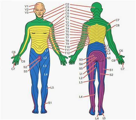 dermatomes map related keywords suggestions for dermatome