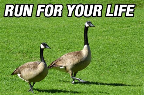 Goose Meme - canada goose meme west of rayleigh