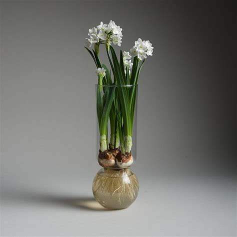 Paperwhite Vase by Bulb Vase Clear