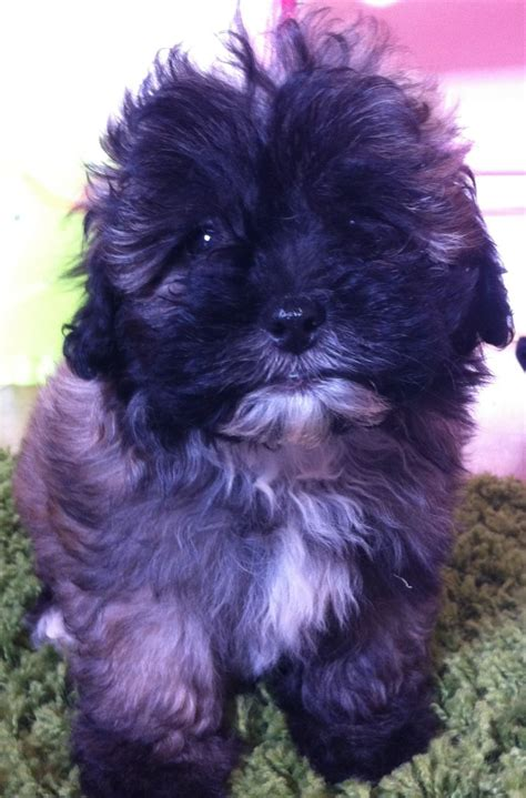 lhasapoo puppies lhasapoo puppies housetrained fully vaccinated southport merseyside pets4homes