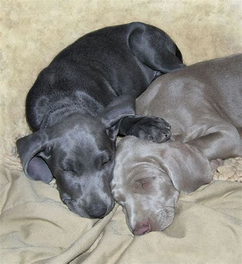 weimaraner colors best 25 blue weimaraner ideas on weimaraner