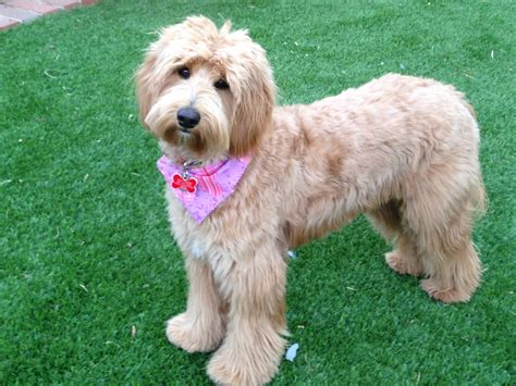 Labradoodle haircuts newhairstylesformen2014 com