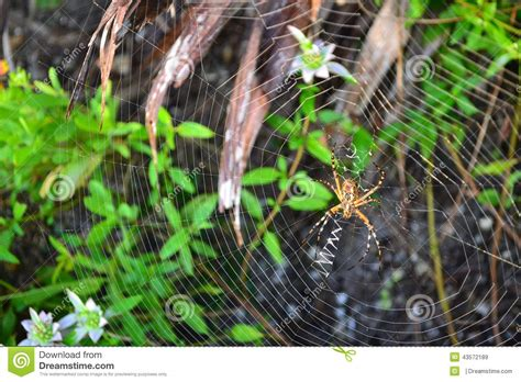 Garden Spider Location Goldene Kugel Weber Spinne Stockfoto Bild 43572189