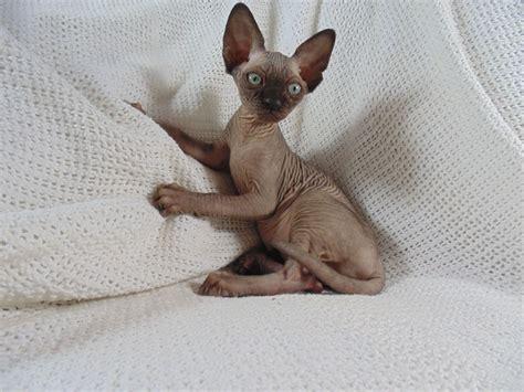 sphynx cats for sale sphynx kittens for sale www summersphynx gloucester