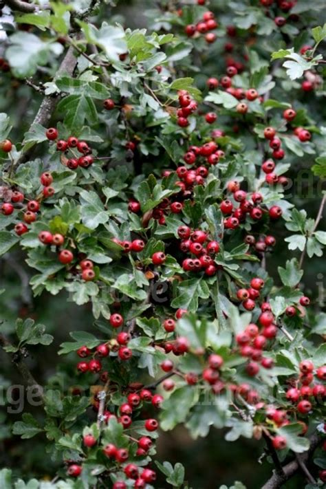 crataegus monogyna red berries clusters in french summer
