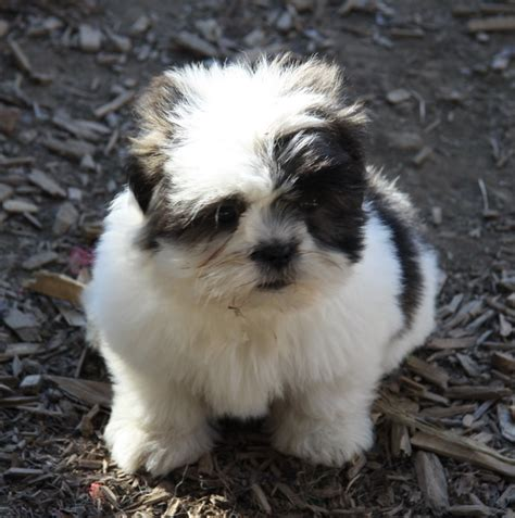 shih tzu puppies for sale ontario fluffy shih tzu puppy puppies for sale dogs for sale in ontario canada curious