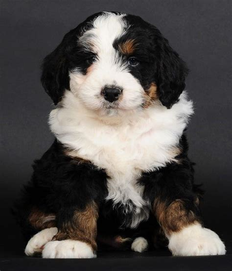 mini bernedoodle puppies bernedoodle related keywords suggestions bernedoodle keywords
